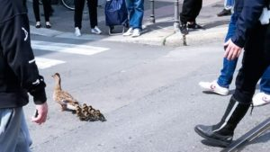 Anatra a passeggio per Milano